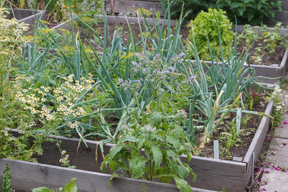 Rahmenbeete strukturieren die Parzelle 94. In den Konstruktionen wachsen Gemüse, Zwiebeln und auch Kräuter.