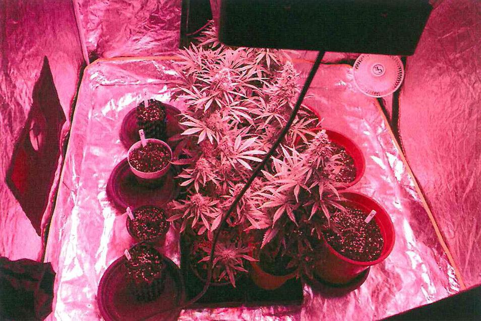 Diese Cannabispflanzen entdeckte die Polizei jetzt in Bautzen.