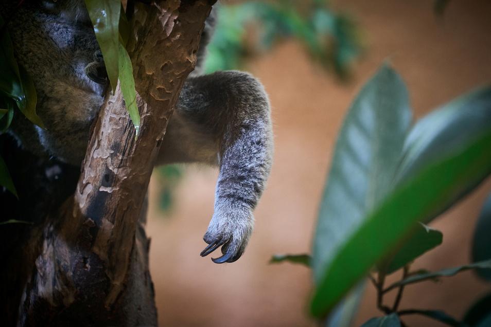 Das Aushängeschild des Dresdner Zoos: Die Koalas Sydney und Mullaya, von denen zuweilen nur ein Fuß oder ein Ohr zu sehen ist.