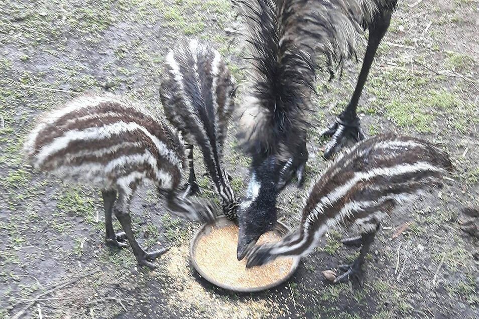 Die Rasselbande bei Familie Emu im Tierpark Weißwasser. Die Minis sind jetzt acht Wochen alt. Ob es sich bei den Küken um Mädels oder Jungs handelt, kann erst später durch den DNA-Test an jeweils einer Feder nachgewiesen werden.