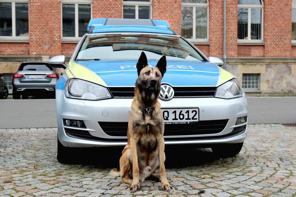 Polizeihund Pepe hat in der Wohnung mehrere Drogenverstecke aufgespürt.