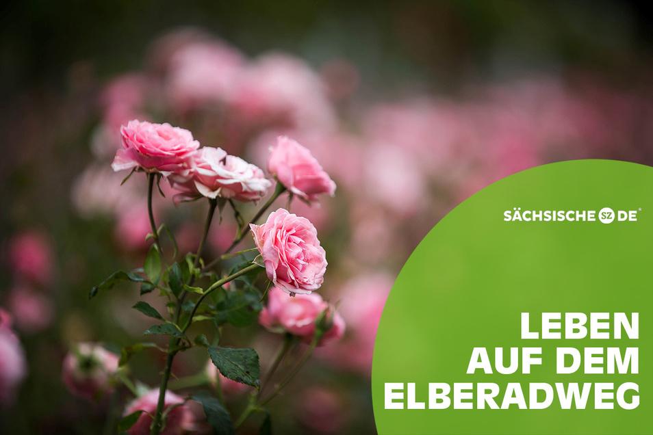 Im Rosengarten zwischen Carusufer und Elberadweg gehen die Uhren anders - der Duft und die Farbenpracht der Rosenstöcke zwingen zum Innehalten.