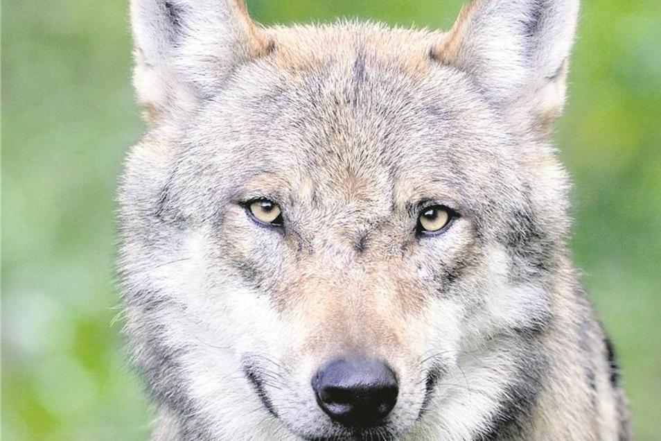 Der Wolf ist in der Gegend längst heimisch – vermutlich. Rechts oben ein Fall vom Januar 2013: der Dittersbacher Jäger Gottfried Starke mit einem Reh. In der Mitte ein Fall vom Januar 2014: Der Hainewalder Bernd Weber fand das Tier, ein paar Wochen später