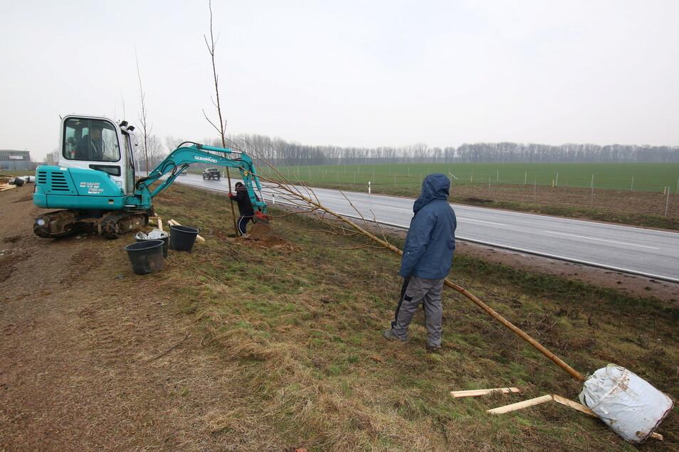 Entlang der neuen B 175 in Döbeln Ost werden gerade Bäume gepflanzt. Auch an ganz anderen Orten waren Ausgleichmaßnahmen vorgenommen worden.