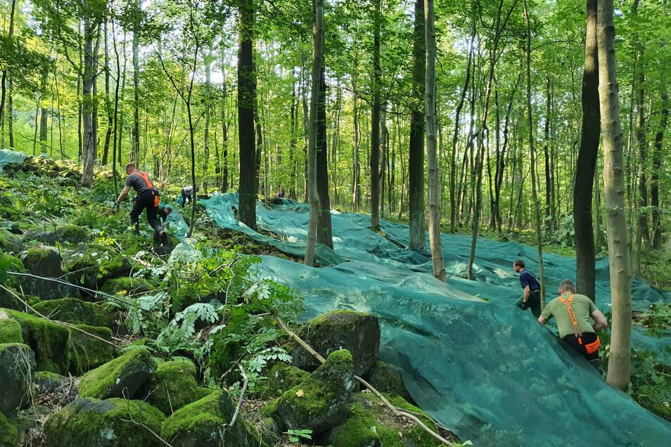 Mit solchen blau-grün schimmernden Netzen wird am Löbauer Berg das Saatgut des Spitzahorns geerntet.