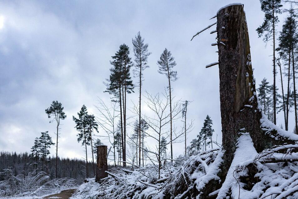 Der Borkenkäfer hat im Kirnitzschtal mächtige Lücken hinterlassen. Die winterlichen Anblicke sind deshalb mitunter skurril.
