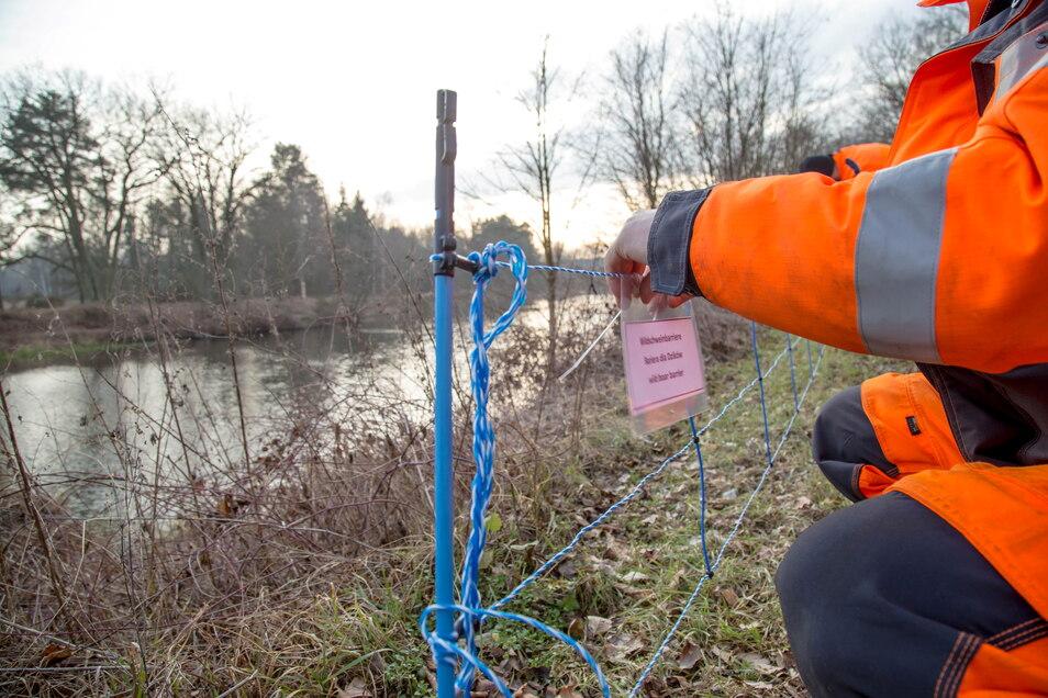 Der Elektrozaun an der Neiße bringt nur bedingt Schutz. Bei Kahle Meile zwischen Rothenburg und Zentendorf hat eine Rotte Wildschweine die Barriere bereits mehrfach durchbrochen.