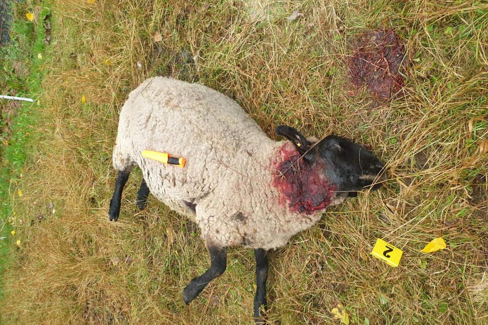 Eines der vom Wolf getöteten Mutterschafe.