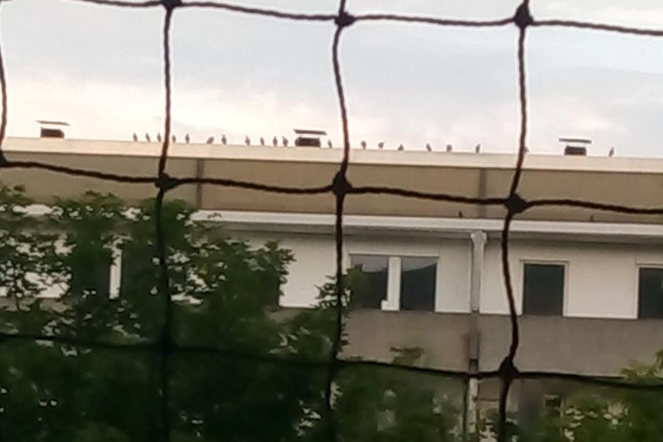 In Reih und Glied sitzen die Tauben auf dem Dach des gegenüberliegenden Wohnblocks der Familie Erlmann. 73 haben sie erst kürzlich auf dem Dach gezählt. Auch dieses Foto der Familie ist nicht alt.
