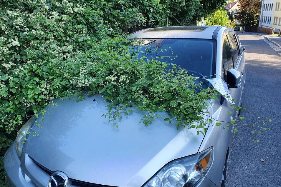 Hecke schluckt Auto: Eine Anwohnerin kann über den Dauerparker vor ihrem Grundstück gar nicht lachen.