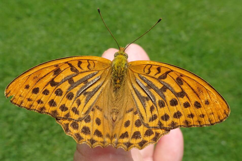 Kaisermantel heißt der Schmetterling, den SZ-Leser Manfred Weidner in Liebstadt fotografiert hat.