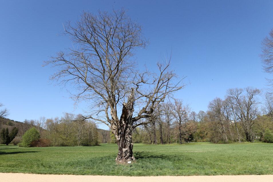 Die Robinie ist der Baum des Jahres 2020.
