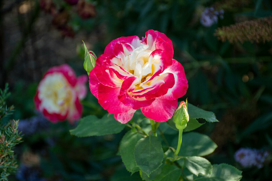 """Die """"Belle Fleur"""" ist eine Rosensorte, die es schon zu DDR-Zeiten gab. Sie ist zweifarbig und duftet stark. Zerge rät, auf die Resistenz der Rosensorten gegen Sternrußtau und Mehltau zu achten, damit sie nicht erkranken. Rosenstöcke müssen gut gepflegt und gedüngt werden, damit sie viele Blüten tragen."""