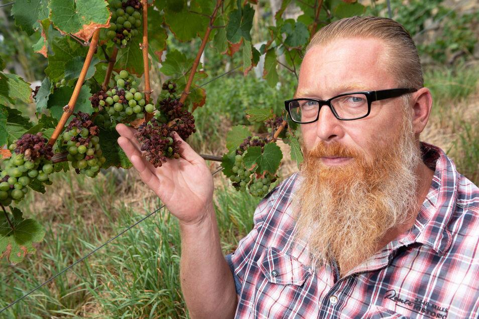 Zu viel Sonne und zu hohe Temperaturen: Manche Rieslingtrauben haben Sonnenbrand bekommen, zeigt Lutz Müller.