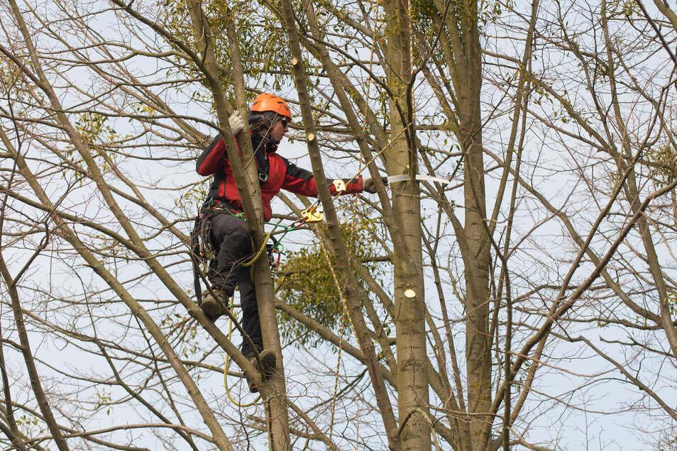 Ein Baumpfleger der Firma Impulsgrün befreit auf dem Landgut Hofewiese Bäume von Totholz und vor allem von belastenden Misteln.