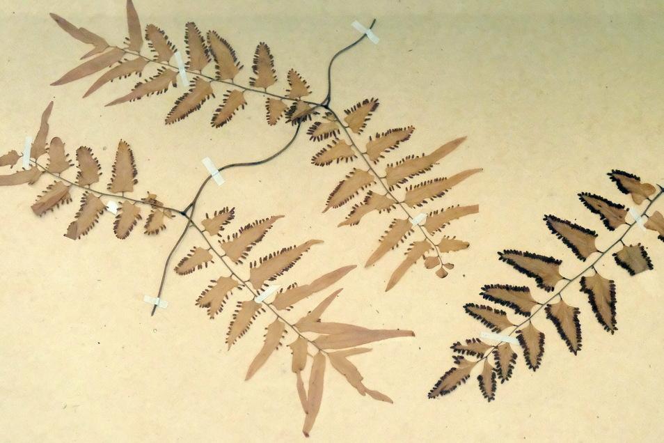 Botanik und Kunst lassen sich verbinden. Diese Pflanzen wurden von der Naturforscherin Amalie Dietrich gesammelt und befinden sich im Museum in Siebenlehn.