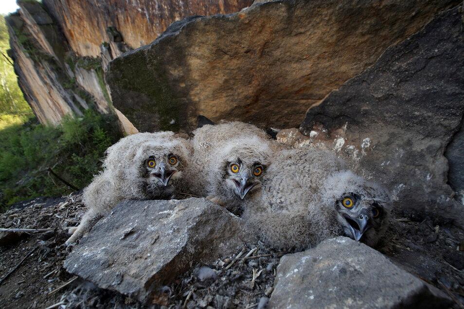 Uhu-Junge an einem Felsen: Der Artenschutzexperte in Nationalpark hofft, dass alle geschlüpften Tiere auch ausfliegen.