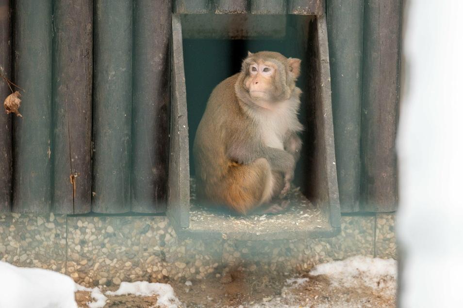 Die Rhesus-Affen lassen sich bei der aktuellen Kälte nur selten draußen sehen.