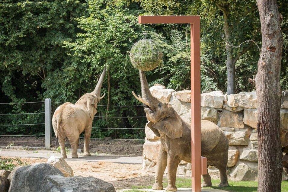 Groß war die Freude der Elefantendamen im Juli, als ihnen das renovierte Außengehege wieder offen stand.