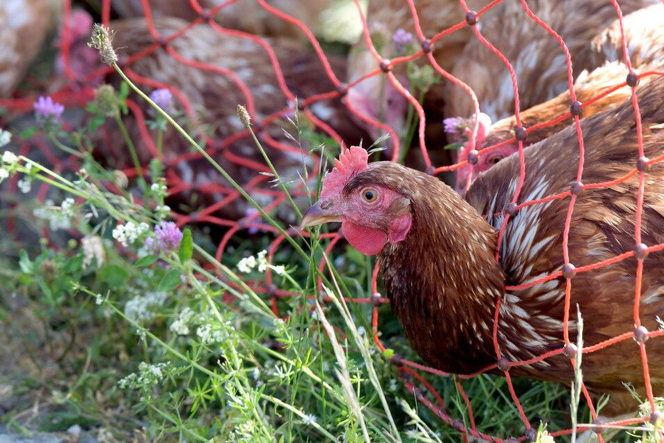 Die täglich frischen Eier, die es im Naturpark-Laden gibt, legen die eigenen Hühner gleich neben dem Firmensitz.