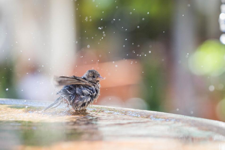 Vögel dürfen in Brunnen baden, Menschen nicht. Dieser Spatz badet im Gänsediebbrunnen.
