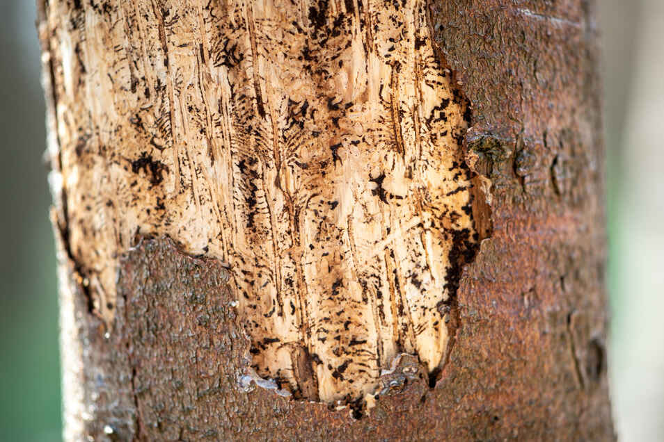 Ein von einem Borkenkäfer befallener Nadelbaum.