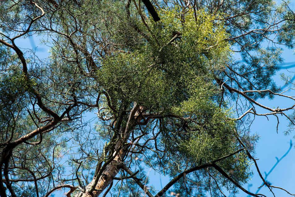 Misteln in Nadelnbäumen? Ja, die gibt's. Die Kiefernmistel kommt sogar in Fichten vor und gilt dort als forstbotanische Besonderheit.