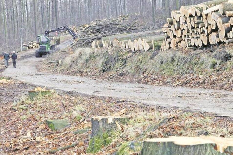 Viel Platz statt schmaler Allee: Der Holzeinschlag am Löbauer Berg erfährt massiven Widerspruch. Foto: Rafael Sampedro