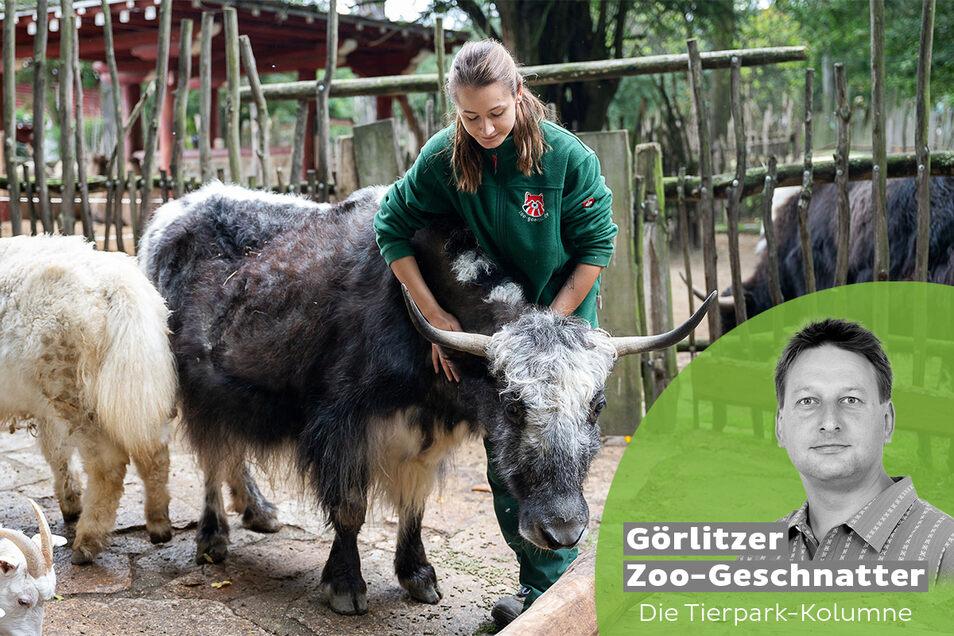 Tierpflegerin Kristin Kasper mit einer Yak-Kuh im Tierpark am Freitag in Görlitz.