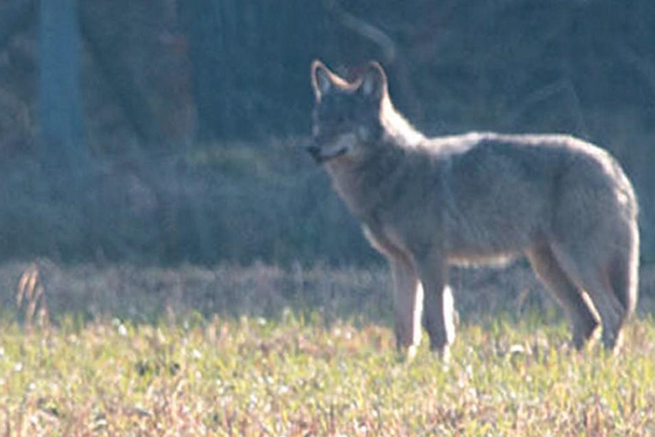 Der Wolf streift in der Heide umher.