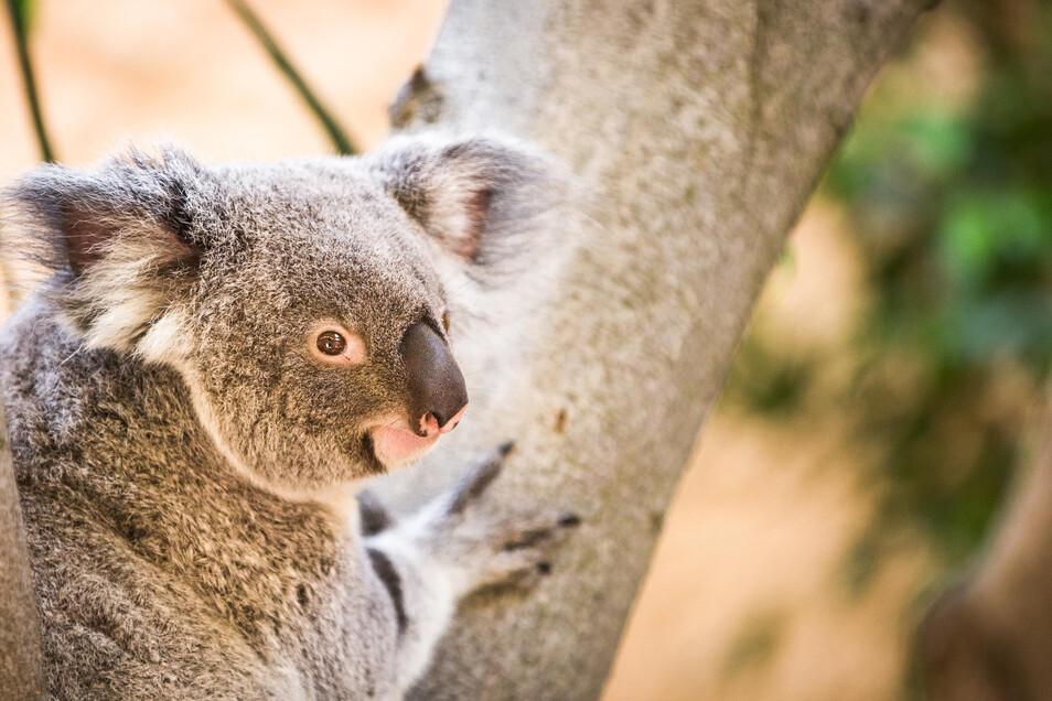 Der Zoo Dresden hatte auf Nachwuchs gehofft - doch Sydney hat ihr Jungtier verloren.