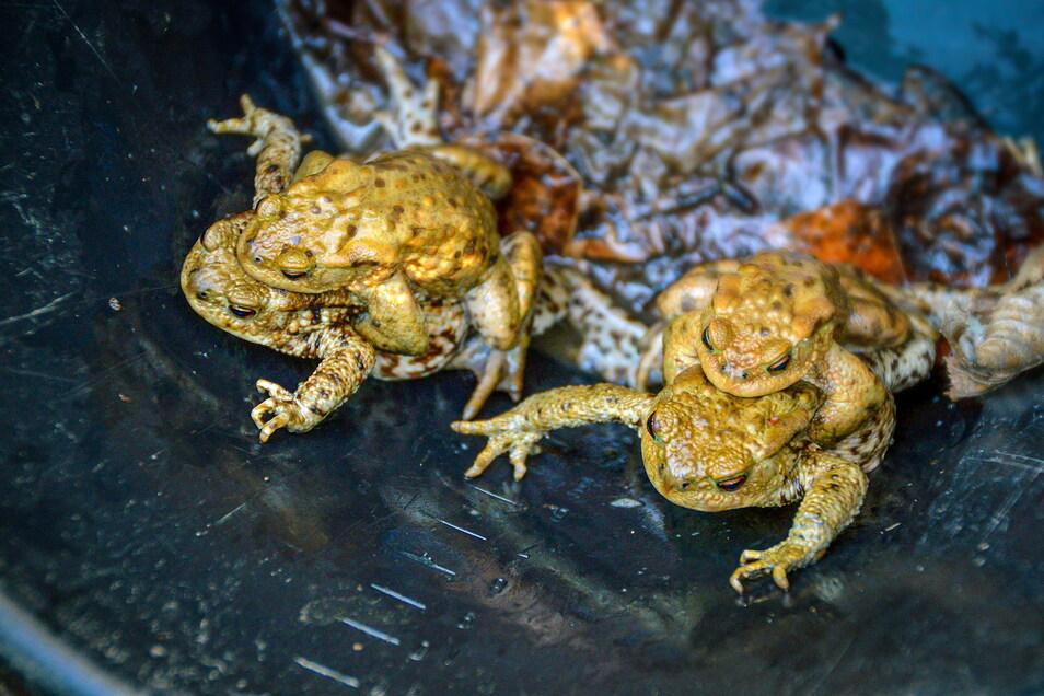 Erdkrötenpaare im Fangeimer: bürgerschaftliches Engagement während der Amphibienwanderung ist wegen des Bestandrückgangs eher selten geworden.