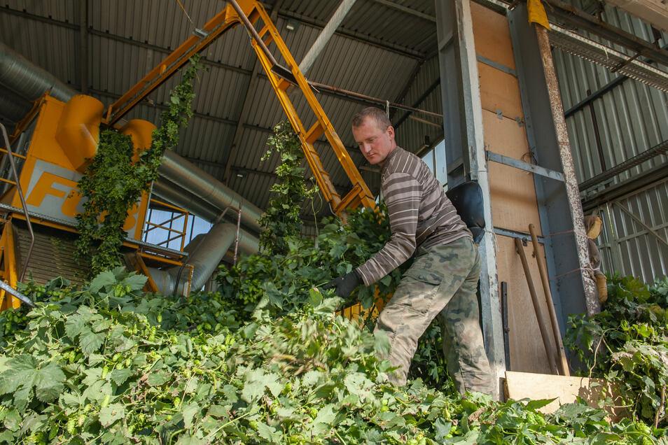 Ein wenig Geschick ist bei der Ernte in Gävernitz schon notwendig: Hubert Walczak beim Einhängen des Hopfens.