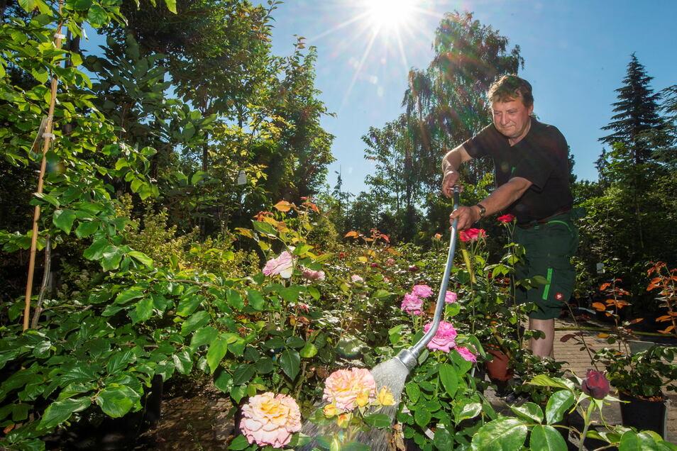 Wasser marsch: Hans-Joerg Winkler von der Baumschule Winkler in Priestewitz muss täglich die Rosen gießen. Und nicht nur die ...