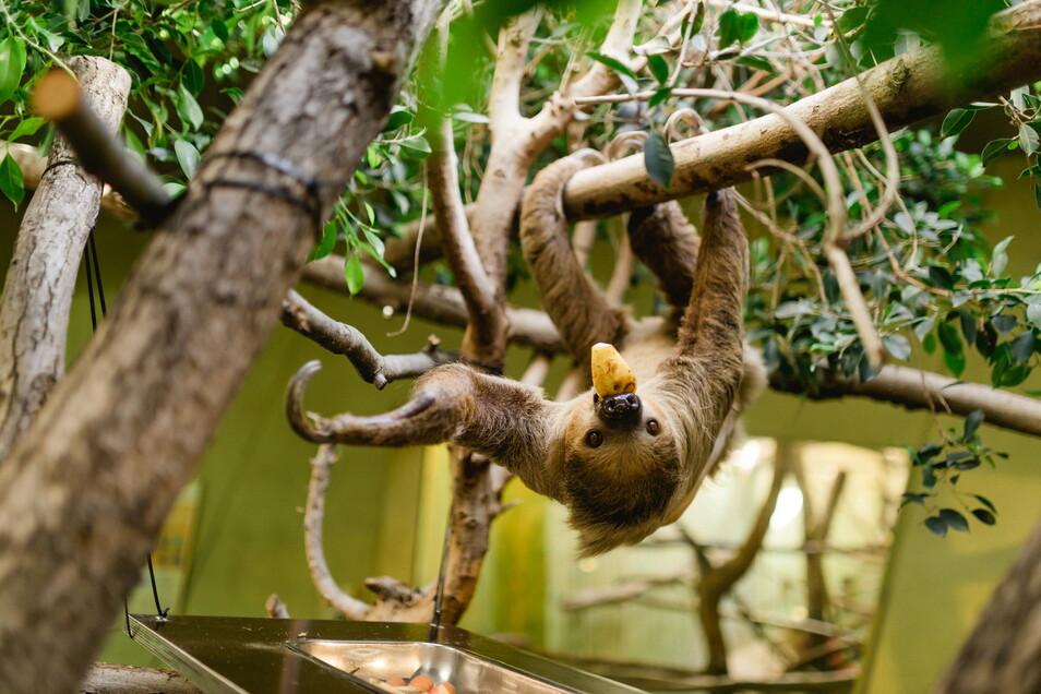 Vater Atia lebt seit vier Jahren im Dresdner Zoo und zeigt sich eher selten den Besuchern.