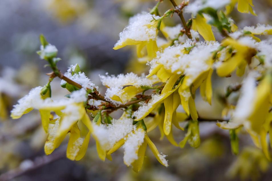 Frischer Schnee liegt auf einer Forsythie. Anfang des Monats hatte es vielerorts in Sachsen nochmal geschneit.