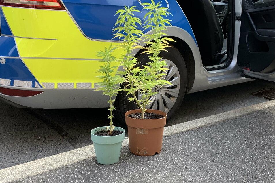Symbolfoto: Bei einer Razzia stellen Polizisten Cannabispflanzen sicher. Ein ähnlicher Fall hat sich auch in Strehla ereignet.