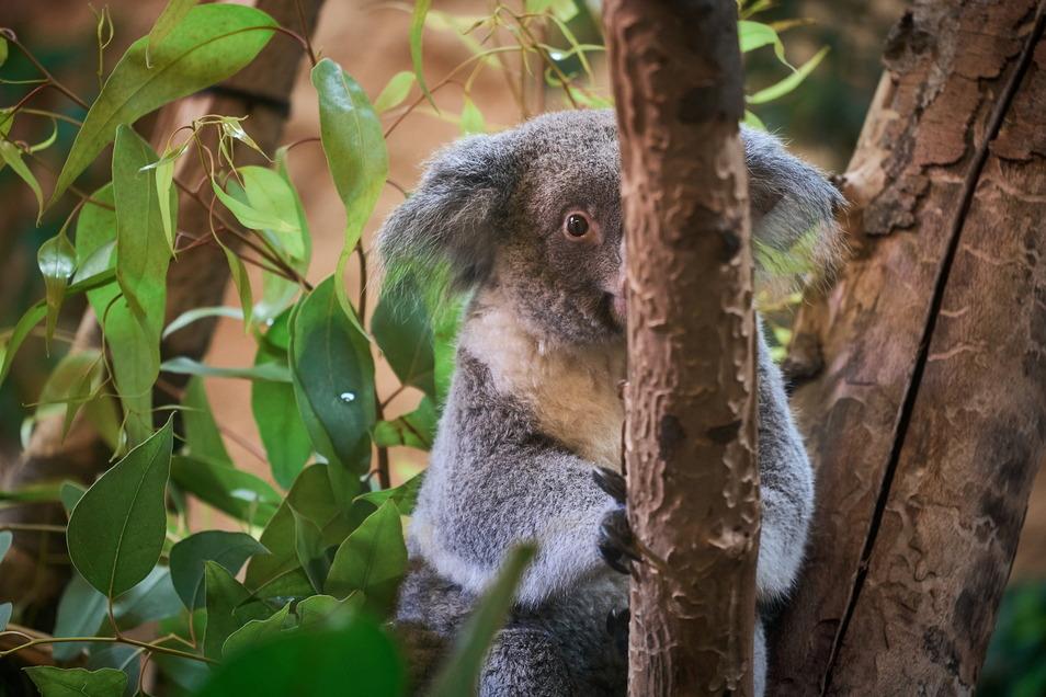 Lust auf Gesellschaft und Nähe dichten Menschen den Koalas an. Tatsächlich sind Koalas Einzelgänger, die am liebsten ihre Ruhe haben.