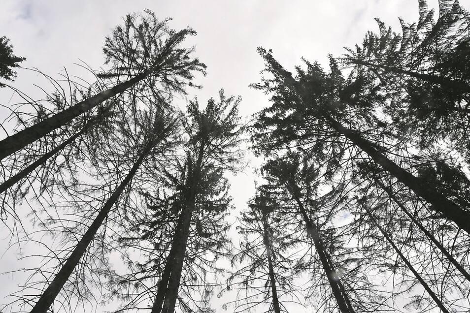 Fichten im Wald am Breiten Stein zwischen Dobra und Dürrröhrsdorf. Die Kronen der Bäume sind noch grün. Den Sommer aber wird wahrscheinlich keiner von ihnen überleben.