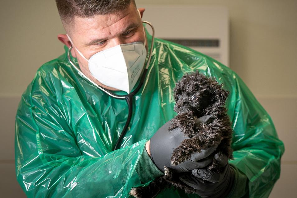 In 16 Jahren als Tierarzt hat Thomas Kießling nie so viele junge und kranke Hunde aus dem Ausland erlebt wie jetzt. Wie die beiden Pudel erlebt er viele: Krank, verwahrlost und verstört.