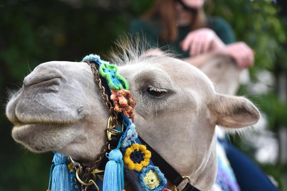 Markanter Kopf mit Hängelippe: Daran kann man erkennen, ob das Tier entspannt ist, sagt Kamelführer Tobias Kühn. Bei Djefar gibt's noch Luft nach oben - oder eher unten.