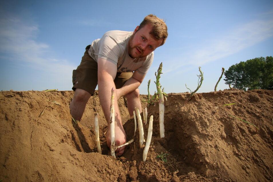 Spargelbauer Mathias Schertenleib zeigt, wie der Spargel wächst.
