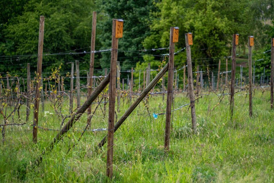 In Roßweins Weinberg sollen die Drahtrahmenanlagen aus Stahl erneuert werden.