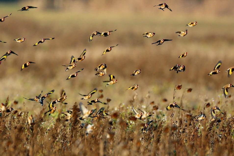 Stieglitze, auch Distelfink genannt, fliegen in Nordsachsen über einem Feld. Die Vögel müssen sich ihr Futter in den kommenden Tagen nicht unter Schnee suchen.