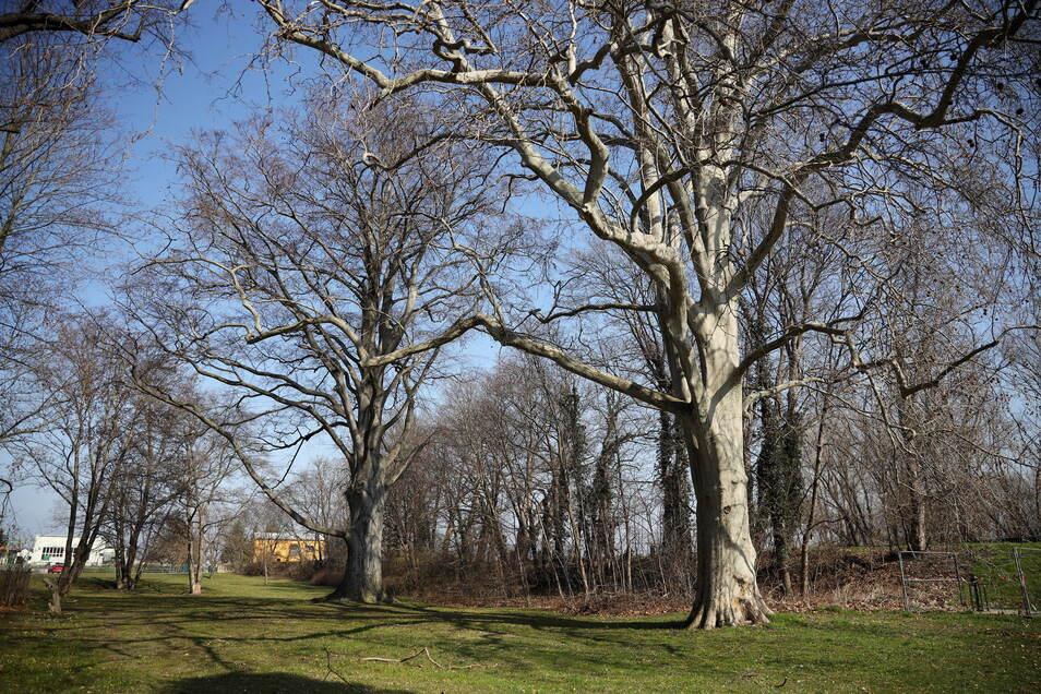 Solche Baumriesen wie im Schlosspark Gröba gibt es in Riesa nicht an vielen Stellen.