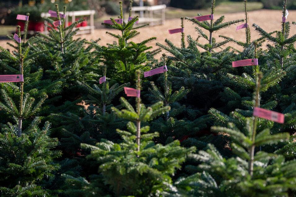 Jetzt ist die Auswahl an Tannenbäumen noch groß. Wer seinen Weihnachtsbaum jetzt schon ersteht, muss aber einiges beachten.