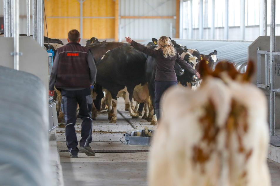 Die Mitarbeiter sorgen dafür, dass die Kühe in dem vorgesehenen Stallbereich bleiben.