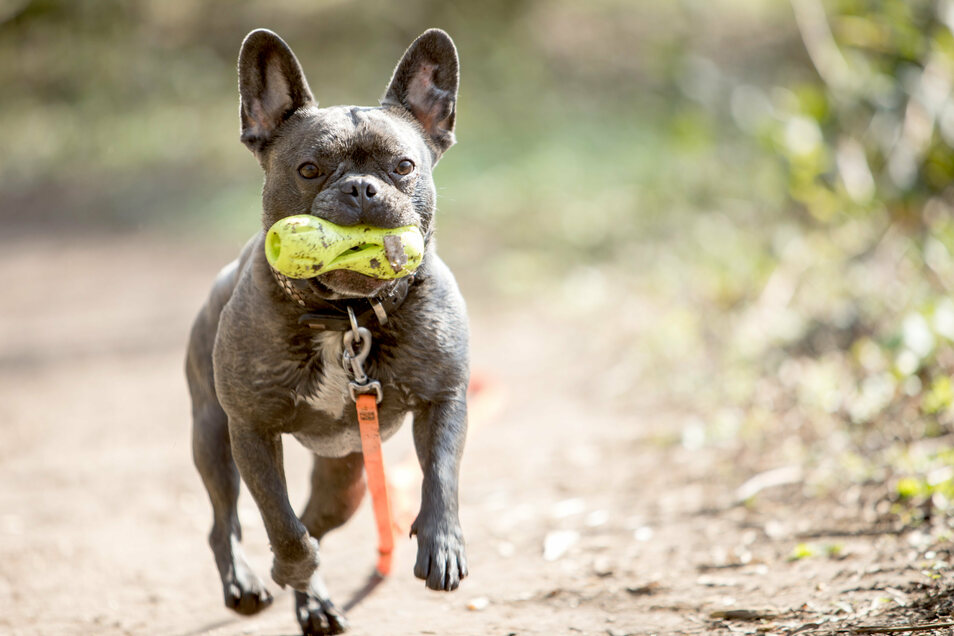Die Französische Bulldogge steht auf Platz vier im Ranking der beliebtesten Hunde 2019.