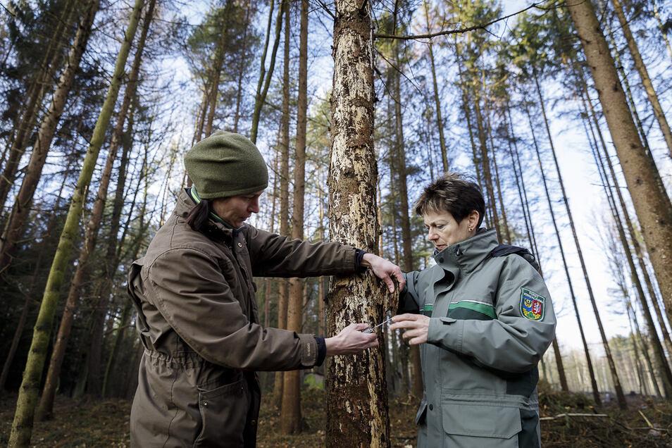 Kreisforstamtsleiterin Sylvia Knote (rechts) und Jenny Lämmerhirt, Sachbearbeiterin Waldschutz, schauen sich in einem Wald zwischen Kodersdorf und Königshain eine vom Borkenkäfer befallene Fichte an.