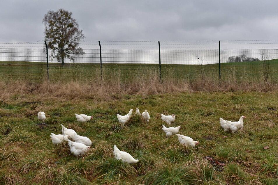 Hühner der Rasse Bresse Gauloise im fast leeren Gehege. Was im Osterzgebirge wächst, geht an Sterne-Köche in ganz Deutschland.